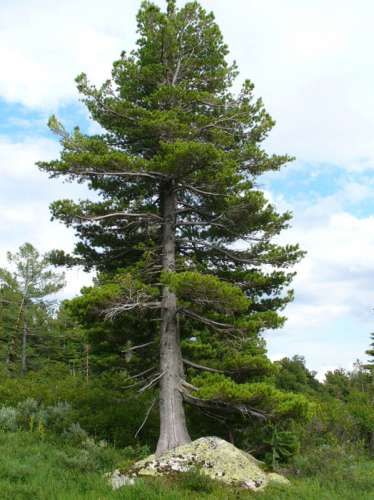 what adaptations do the pine trees